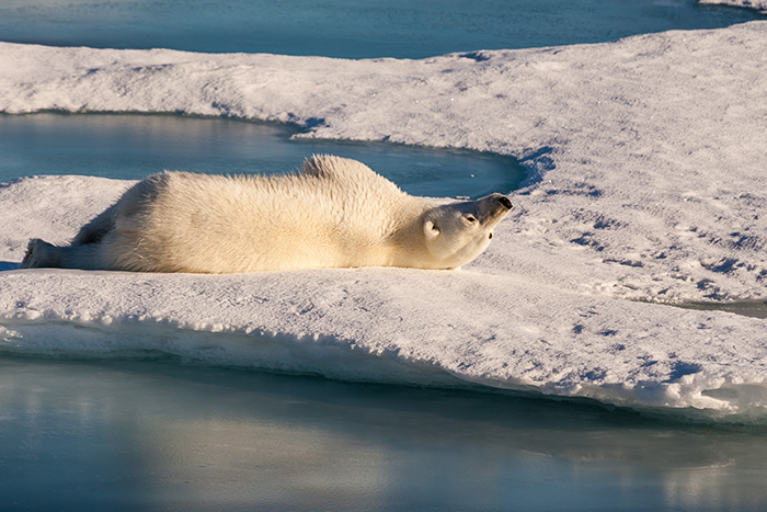 One or more polar bears on Arctic sea ice. This image was taken during the Polarstern expedition PS 94 in summer 2015.